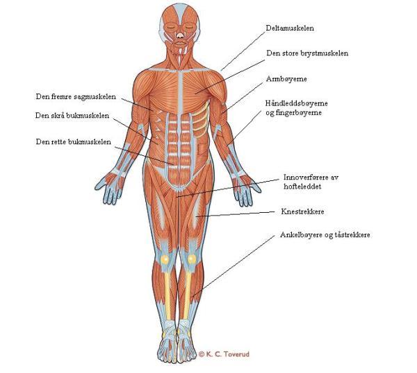 norske nakne jenter muskler i kroppen navn